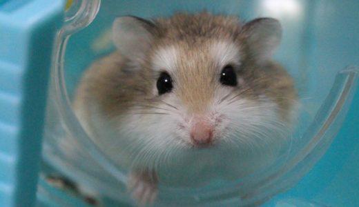 世界最小ハムスター ロボロフスキーの魅力とは