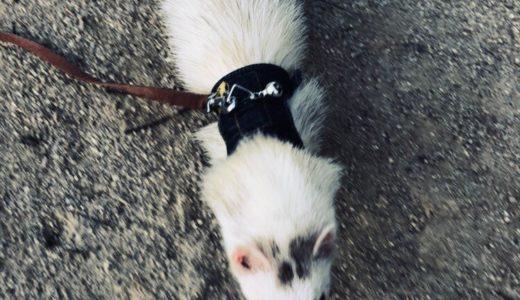 フェレットの散歩