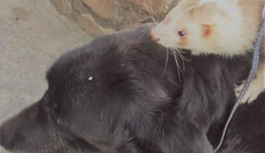 フェレットと他の動物との相性