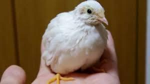 小さな鳥『ヒメウズラ』