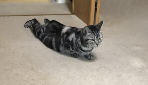 猫の筋トレ